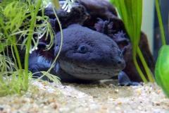 axolotl-2193310_1920