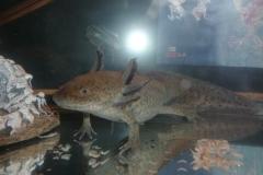 axolotl-38317_1920
