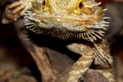 bearded-dragon-1302335_1920