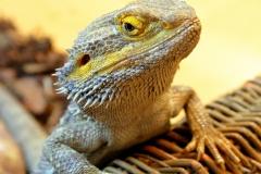 bearded-dragon-1857025_1920