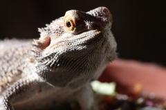 bearded-dragon-733725_1920