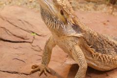 bearded-dragon-77079_1920