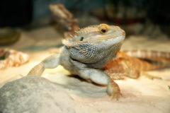 lizard-1613187_1280