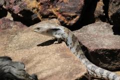 lizard-1458194_1920