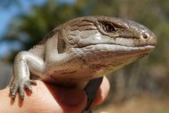 lizard-177972_1920