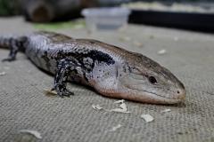 lizard-2064137_1920