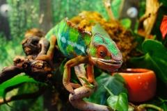 chameleon-226287_1920