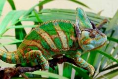chameleon-2271870_1920