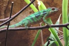 chameleon-2441162_1920