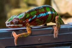 chameleon-855125_1920