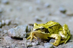 frog-214552_1280