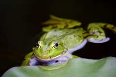 frog-3445450_1920
