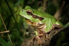 tree-frog-474949_1280
