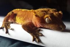 gecko-2159922_1920