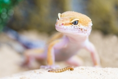 gecko-2299365_1920