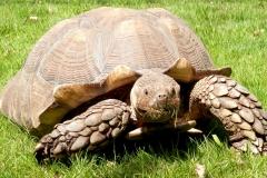 burmese-tortoise-1472895_1920