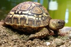 turtle-leopardia-3313122_1920